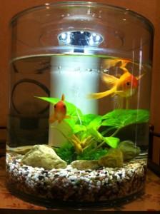 我が家の金魚♥
